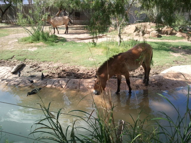 A wild horse drinking from a lake in its zoo enclosure, Image © B575 [CC BY-SA 3.0] Wikimedia Commons