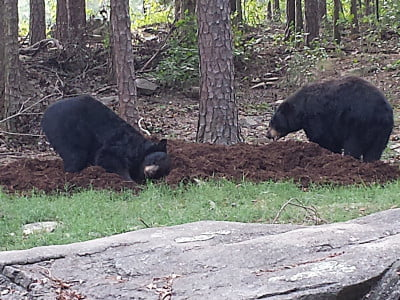 Two bears in their zoo enclosure digging in a soil pile