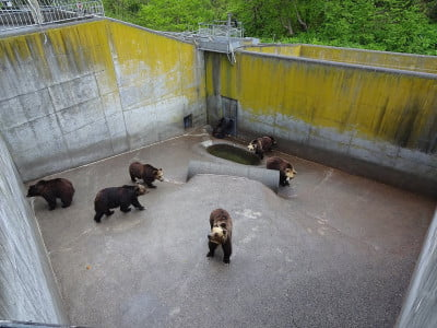 six bears in a concrete enclosure in a Japanese bear park
