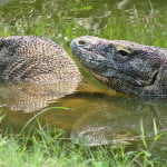 Two komodo dragons swimming