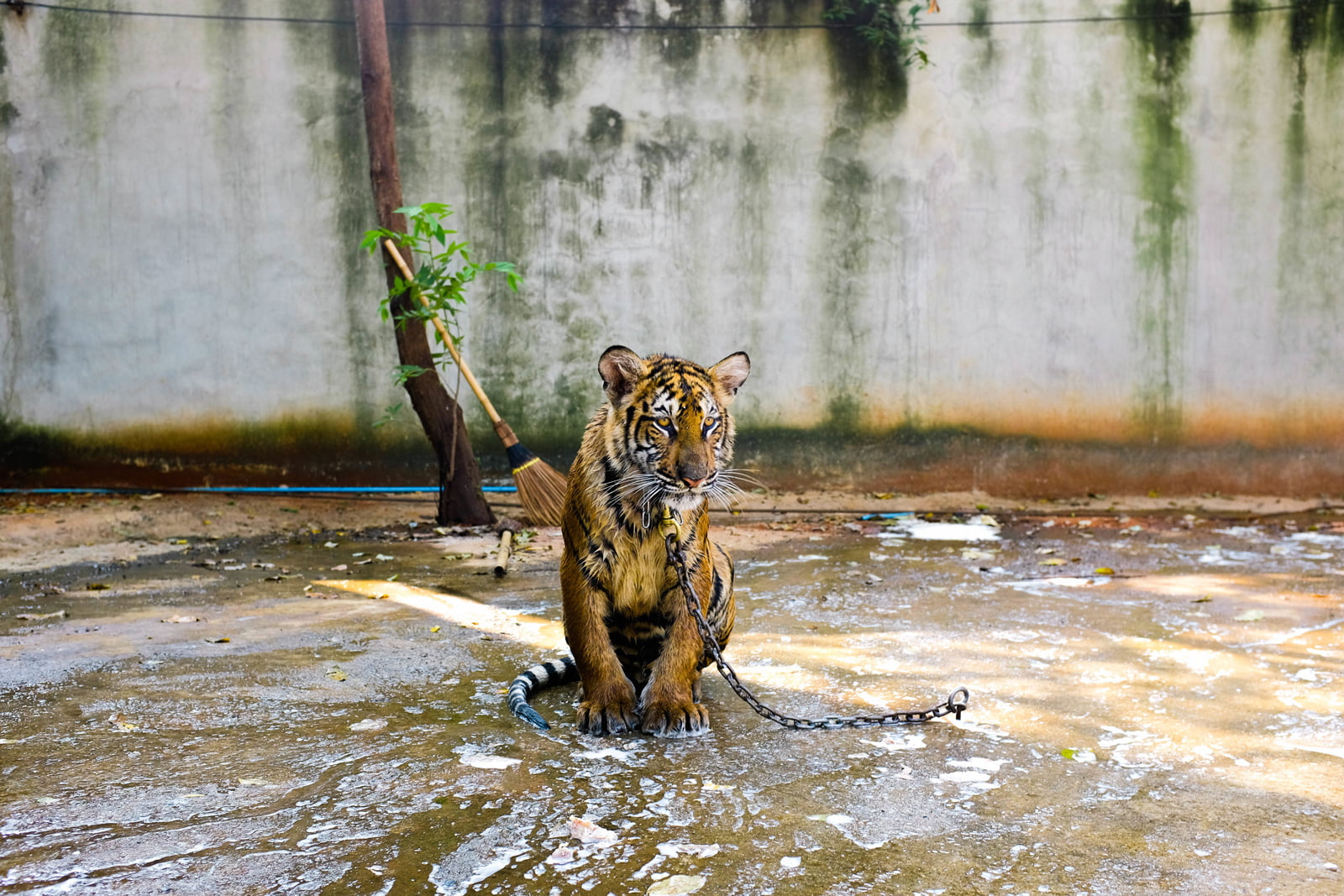 Tiger chained in a zoo enclosure
