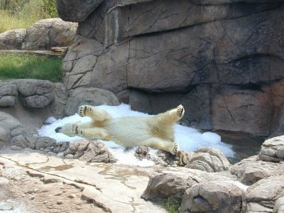 polar bear rolls in snow in its zoo enclosure