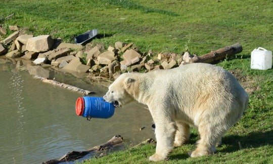 polar bear plays with a plastic barrel enrichment in its zoo enclosure