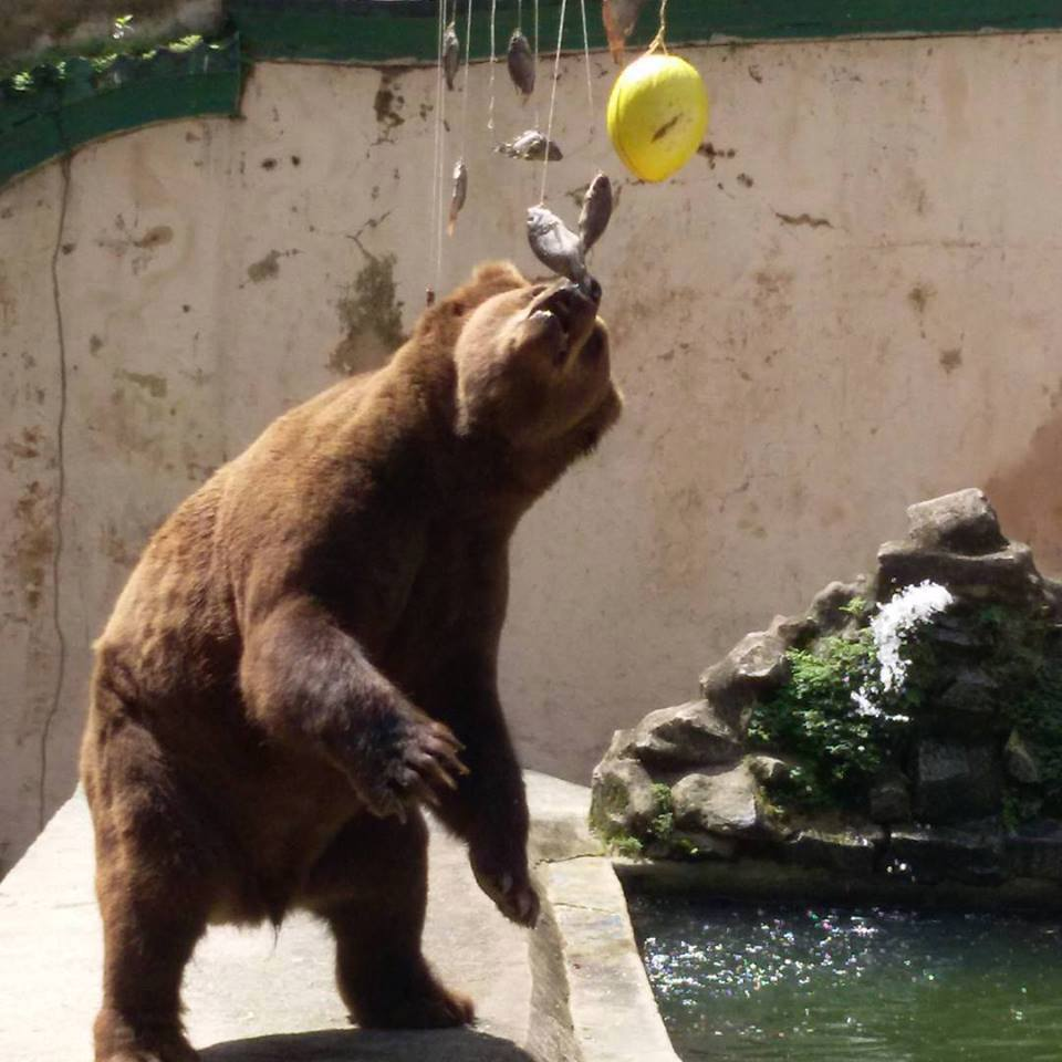 brown bear reaches for hanging food items in its zoo enclosure