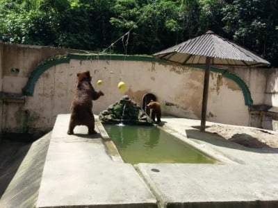 bear plays with hanging enrichment items in zoo enclosure