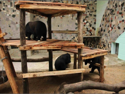 Bears climbing on platforms in their zoo enclosure