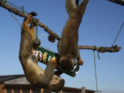 Monkeys exploring a box full with treats in a zoo