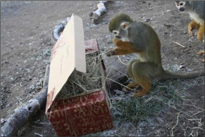 Monkey explores a box full with treats in a zoo