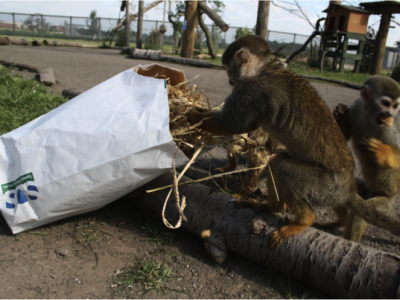 Monkey explores a bag full with treats in a zoo