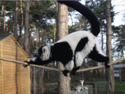 Lemur walks across a rope in its zoo enclosure