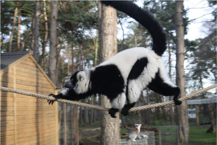 Lemur walks across a rope in its zoo enclosure