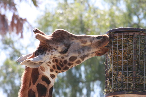 giraffe eating from a raised feeder in a zoo
