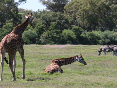 giraffe and zebra graze in a paddock in a zoo