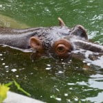 Hippo in a pool at the zoo