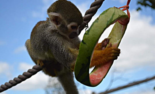 Monkey eating a piece of fruit in the zoo