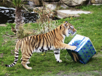 tiger plays with a cardboard box in the zoo