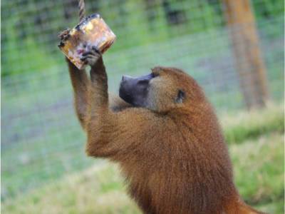 Baboon plays with a hanging ice block in the zoo