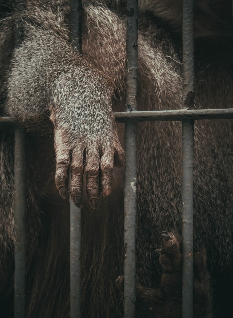 A zoo animal stretches its arm through the bars of its enclosure