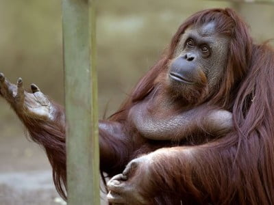 orangutan in a zoo, Image © Juan Mabromata/AFP/Getty Images