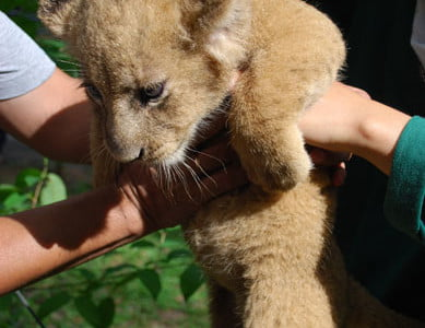 Photo of a lion cub in a zoo
