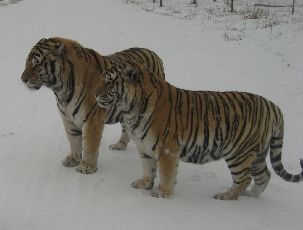 Photo of two tigers in a big cat facility in China