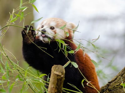 Photo of a red panda eating leaves in a tree