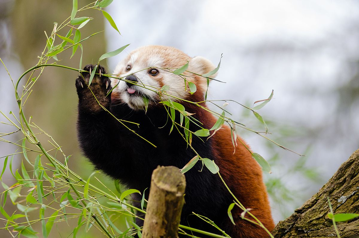 Photo of a red panda eating leaves in a tree Image © Mathias Appel (CC0), via Wikimedia Commons