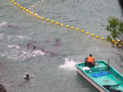 Photo of dolphins being rounded up into a cove in Japan