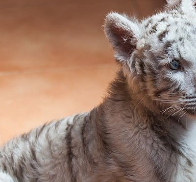 Photo of a white tiger cub