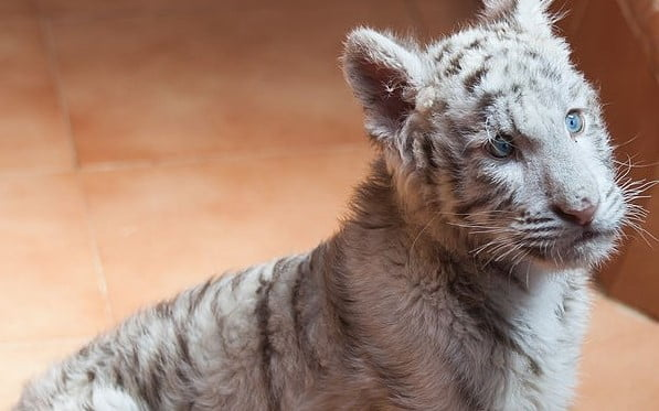 Photo of a white tiger cub, Image ©Luis Miguel Bugallo Sánchez (Lmbuga) -own work (CC BY-SA 3.0) via Wikimedia Commons