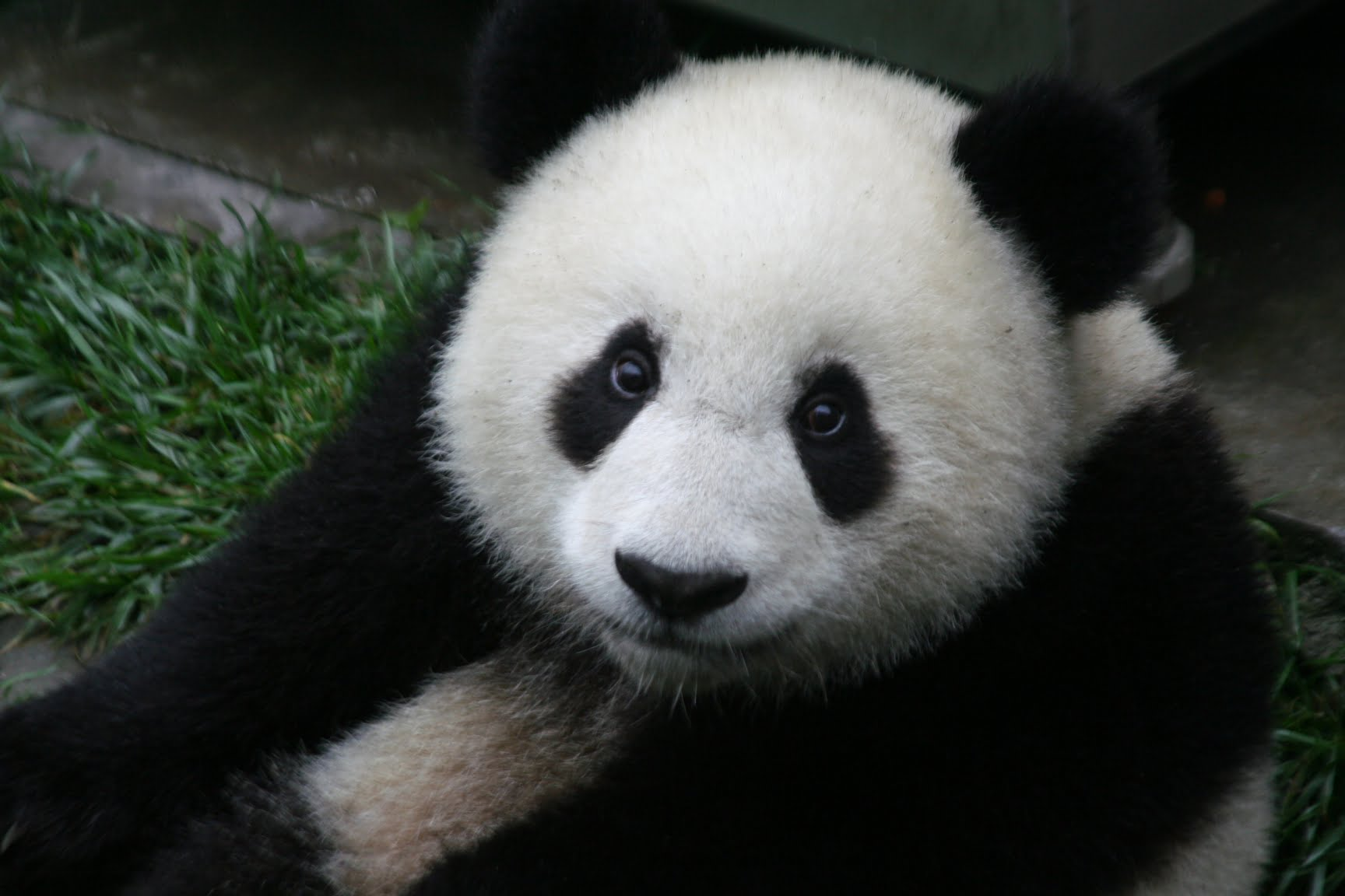 Photo of a young giant panda