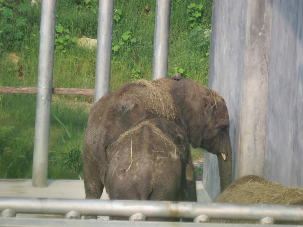 African Elephant Calves in Changlong Qingyuan_jul2015 (32)_Nature University.JPG