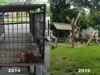 Photo showing orangutans, one in a small metal cage, then two in an open enclosure
