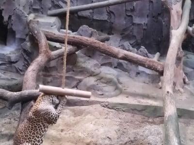 Leopard in a zoo enjoying enrichment items