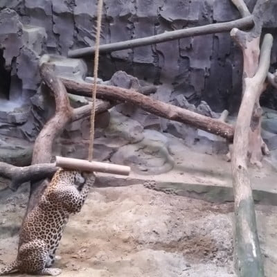 Leopard in a zoo enjoying enrichment items