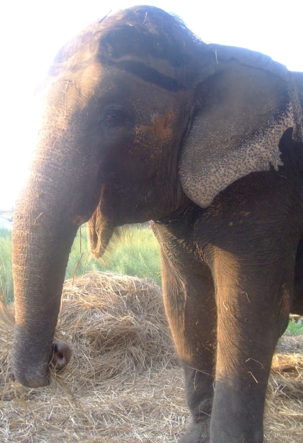 Image of a captive elephant