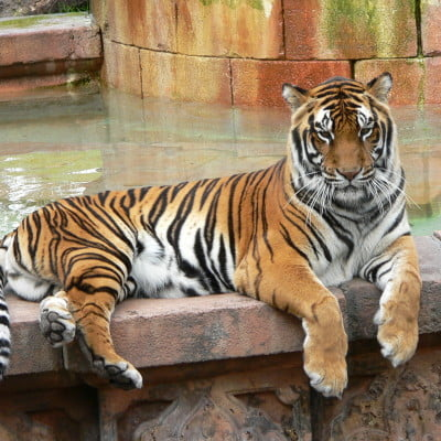 Photo of a Bengal Tiger in a captive setting
