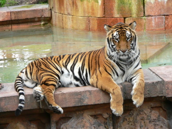 Photo of a Bengal Tiger in a captive setting, Image source: CC BY-SA 3.0 via Wikimedia Commons