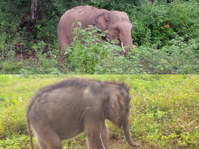 tw asian elephants