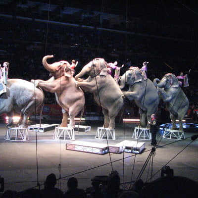 Elephants performing tricks in the circus