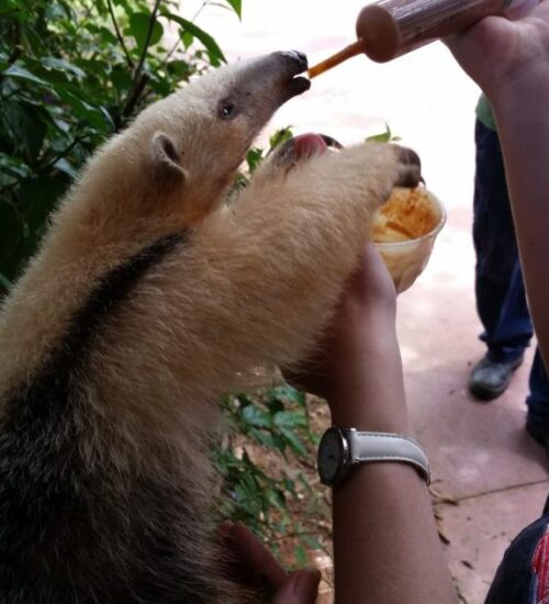 A baby anteater being fed by syringe in a Brazilian zoo