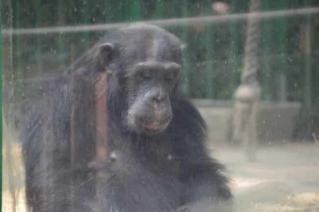 Chimpanzee behind glass in a zoo enclosure