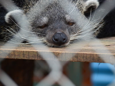binturong in zoo enclosure sleeping