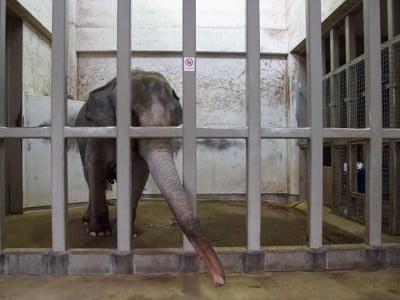 Zoo elephant in Japanese zoo- Image source: nationalgeographic.com