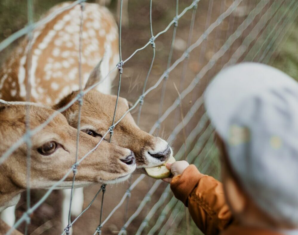 Child feeding deer in a zoo, Image © Daiga Ellaby on Unsplash