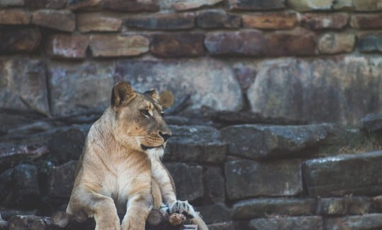 lion sitting on a raised platform in zoo, Image © Dominik Lange on Unsplash
