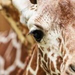 close-up on a giraffe, Image © Gwen Weustink on Unsplash