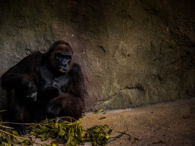 gorilla sits alone in a zoo, Image © Jose Chomali on Unsplash