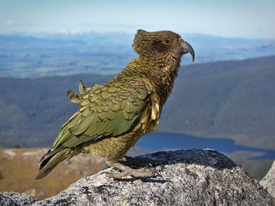 Wild kea bird sits on top of a rock, Image © Tomas Sobek on Unsplash
