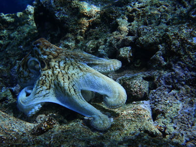 Octopus on a rock underwater